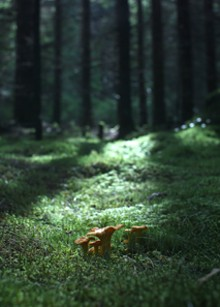 Chanterelles are gold that grow in forests.